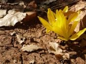 گل پاییزی